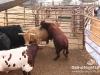 cedar_rodeo_elrancho_lebanon_03